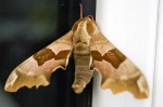 Believed to be a Lime Hawk Moth, it remained attached to the centre all day - probably the warmest place.