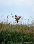 Marsh Harrier looking for Sunday dinner